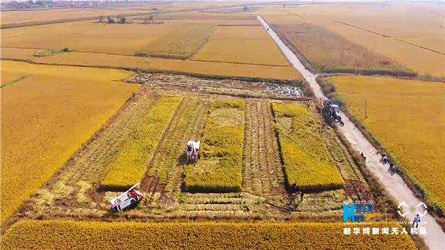 金黃色的風景|航拍稻田豐收美景